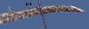 http://mczbase.mcz.harvard.edu/specimen_images/herpetology/large/R3649_X_rabdocephalus_rabdocephalus_H_tail_dorsal.jpg