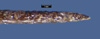 http://mczbase.mcz.harvard.edu/specimen_images/herpetology/large/R3649_X_rabdocephalus_rabdocephalus_H_tail_lateral.jpg