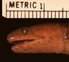 http://mczbase.mcz.harvard.edu/specimen_images/herpetology/large/R37701_A_major_hl.jpg