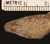 http://mczbase.mcz.harvard.edu/specimen_images/herpetology/large/R38181_A_scriptus_mariguanae_P_hd.jpg