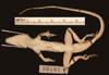 http://mczbase.mcz.harvard.edu/specimen_images/herpetology/large/R38181_A_scriptus_mariguanae_P_v.jpg