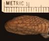 http://mczbase.mcz.harvard.edu/specimen_images/herpetology/large/R38252_D_haetiana_haetiana_H_hv.jpg