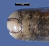 http://mczbase.mcz.harvard.edu/specimen_images/herpetology/large/R3971_L_albirostris_H_hd.jpg