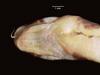 http://mczbase.mcz.harvard.edu/specimen_images/herpetology/large/R39952_A_turneri_H_hv.jpg