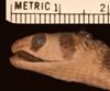 http://mczbase.mcz.harvard.edu/specimen_images/herpetology/large/R40555_C_smithi_H_hl.jpg