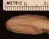 http://mczbase.mcz.harvard.edu/specimen_images/herpetology/large/R40555_C_smithi_H_hv.jpg