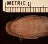 http://mczbase.mcz.harvard.edu/specimen_images/herpetology/large/R40581_D_medici_lamuensis_H_hv.jpg