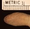 http://mczbase.mcz.harvard.edu/specimen_images/herpetology/large/R42505_A_landoi_H_hv.jpg