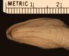 http://mczbase.mcz.harvard.edu/specimen_images/herpetology/large/R42782_D_vinitor_P_hv.jpg