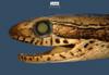 http://mczbase.mcz.harvard.edu/specimen_images/herpetology/large/R42788_R_sargenti_H_hl.jpg