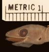 http://mczbase.mcz.harvard.edu/specimen_images/herpetology/large/R4335_C_malcolmsmithi_P_hl.jpg