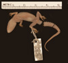 http://mczbase.mcz.harvard.edu/specimen_images/herpetology/large/R4335_C_malcolmsmithi_P_v.jpg