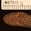 http://mczbase.mcz.harvard.edu/specimen_images/herpetology/large/R43580_C_griswoldi_H_hd.jpg
