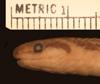 http://mczbase.mcz.harvard.edu/specimen_images/herpetology/large/R43580_C_griswoldi_H_hl.jpg