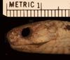 http://mczbase.mcz.harvard.edu/specimen_images/herpetology/large/R43591_P_laevis_hll.jpg