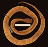 http://mczbase.mcz.harvard.edu/specimen_images/herpetology/large/R43592_P_vertebralis_d.jpg