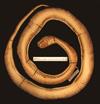 http://mczbase.mcz.harvard.edu/specimen_images/herpetology/large/R43592_P_vertebralis_v.jpg
