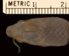 http://mczbase.mcz.harvard.edu/specimen_images/herpetology/large/R44714_E_doriae_hd.jpg