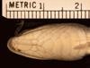 http://mczbase.mcz.harvard.edu/specimen_images/herpetology/large/R44714_E_doriae_hv.jpg