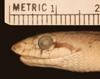http://mczbase.mcz.harvard.edu/specimen_images/herpetology/large/R44847_A_elegans_candida_P_hl.jpg