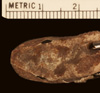 http://mczbase.mcz.harvard.edu/specimen_images/herpetology/large/R45767_C_paulsoni_tasmai_P_hd.jpg