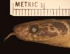 http://mczbase.mcz.harvard.edu/specimen_images/herpetology/large/R45963_D_flavozonatum_P_hl.jpg