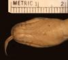 http://mczbase.mcz.harvard.edu/specimen_images/herpetology/large/R45963_D_flavozonatum_P_hv.jpg