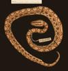 http://mczbase.mcz.harvard.edu/specimen_images/herpetology/large/R46502_E_cenchria_gaigei_P_d.jpg