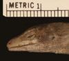 http://mczbase.mcz.harvard.edu/specimen_images/herpetology/large/R46516_A_haguei_P_hl.jpg
