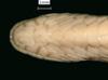 http://mczbase.mcz.harvard.edu/specimen_images/herpetology/large/R46681_C_gervaisii_P_hv1.jpg