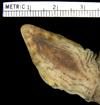 http://mczbase.mcz.harvard.edu/specimen_images/herpetology/large/R46835_P_langi_H_hv.jpg