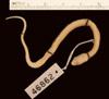 http://mczbase.mcz.harvard.edu/specimen_images/herpetology/large/R46862_C_bipunctatus_biseriatus_P_d.jpg