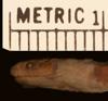 http://mczbase.mcz.harvard.edu/specimen_images/herpetology/large/R47010_E_tricolor_hl.jpg