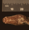 http://mczbase.mcz.harvard.edu/specimen_images/herpetology/large/R49472_C_carinata_tepedeleni_P_hv.jpg