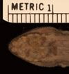 http://mczbase.mcz.harvard.edu/specimen_images/herpetology/large/R49519_L_chacoensis_H_hd.jpg