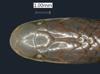 http://mczbase.mcz.harvard.edu/specimen_images/herpetology/large/R50076_C_butleri_H_hd.jpg