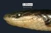 http://mczbase.mcz.harvard.edu/specimen_images/herpetology/large/R50076_C_butleri_H_hl.jpg
