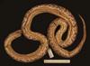 http://mczbase.mcz.harvard.edu/specimen_images/herpetology/large/R53220_A_major_v.jpg