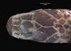 http://mczbase.mcz.harvard.edu/specimen_images/herpetology/large/R53490_A_jacksonii_oweni_H_hd.jpg