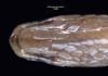 http://mczbase.mcz.harvard.edu/specimen_images/herpetology/large/R53490_A_jacksonii_oweni_H_hv.jpg