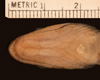 http://mczbase.mcz.harvard.edu/specimen_images/herpetology/large/R54016_C_monticola_P_hv.jpg