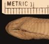 http://mczbase.mcz.harvard.edu/specimen_images/herpetology/large/R54106_C_biserialis_P_hv.jpg