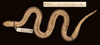 http://mczbase.mcz.harvard.edu/specimen_images/herpetology/large/R54106_C_biserialis_P_v.jpg