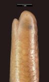 http://mczbase.mcz.harvard.edu/specimen_images/herpetology/large/R55385_L_bicolor_hl.jpg