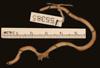 http://mczbase.mcz.harvard.edu/specimen_images/herpetology/large/R55385_L_bicolor_v.jpg