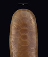http://mczbase.mcz.harvard.edu/specimen_images/herpetology/large/R55396_L_sundewalli_hd.jpg