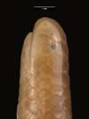 http://mczbase.mcz.harvard.edu/specimen_images/herpetology/large/R55396_L_sundewalli_hl.jpg