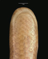 http://mczbase.mcz.harvard.edu/specimen_images/herpetology/large/R55396_L_sundewalli_hv.jpg
