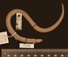 http://mczbase.mcz.harvard.edu/specimen_images/herpetology/large/R56017_A_nigrilatus_P_d.jpg