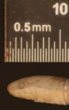 http://mczbase.mcz.harvard.edu/specimen_images/herpetology/large/R56017_A_nigrilatus_P_hl.jpg